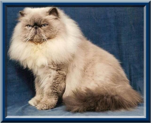 Mačka perzská mačka divá mačka domáca ovocný koláč makový